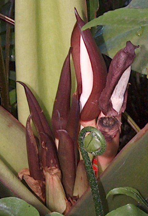 Alocasia robusta blooms