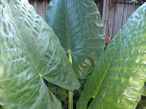 Alocasia macrorrhizos Big Mac