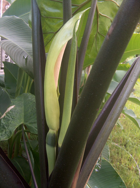 Alocasia mac black stem infl side