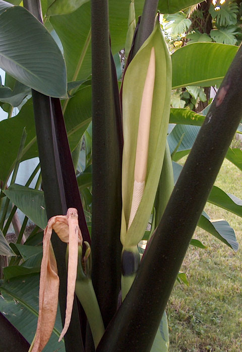 Alocasia mac black stem infl front