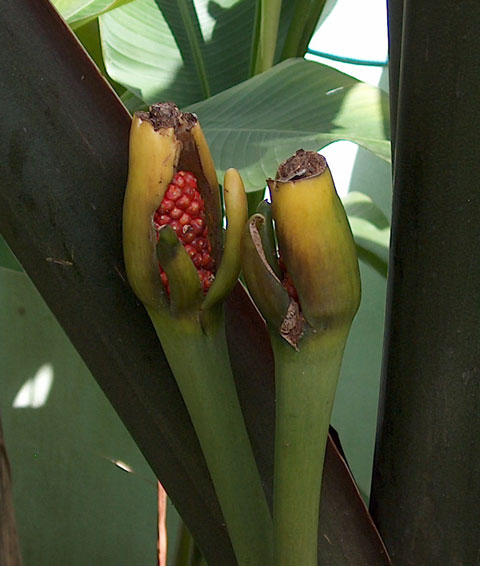 Alocasia mac black stem berries