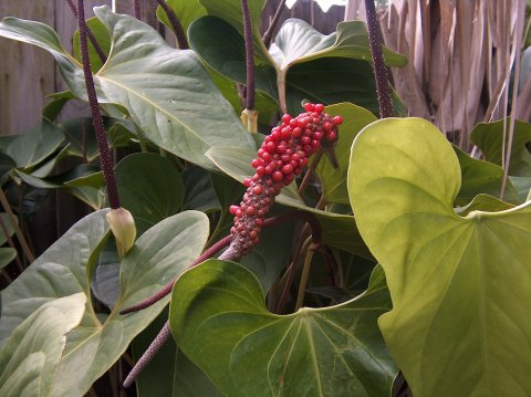 Anthurium sp. #2 berries
