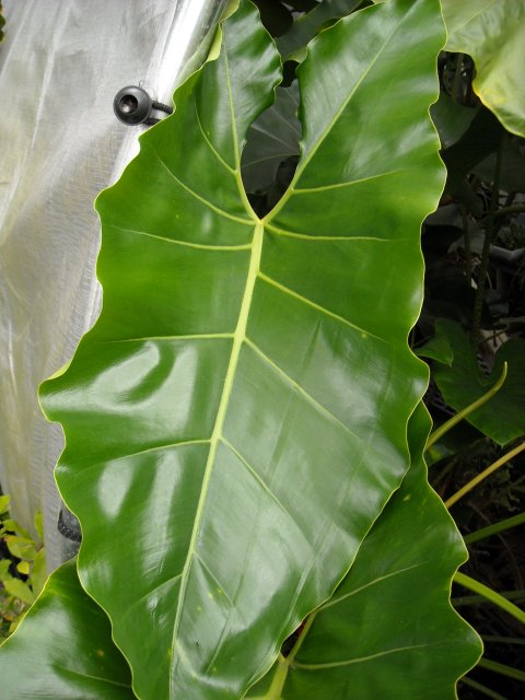 Philodendron williamsii leaf