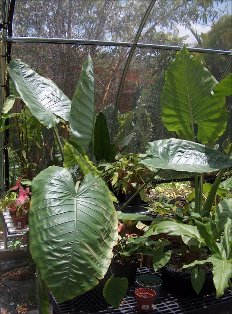 Alocasia robusta droopy