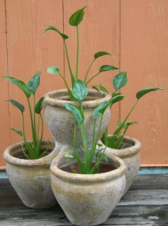 Alocasia Tiny Dancers 4-pot